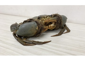 India / Sri Lanka XXXL Crab (Above 1.5kg & above)